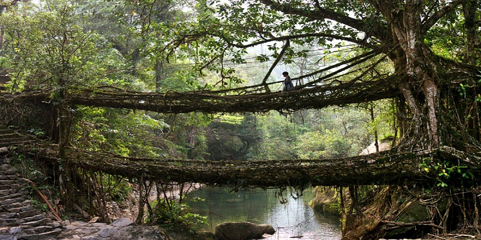 Living Root Bridges